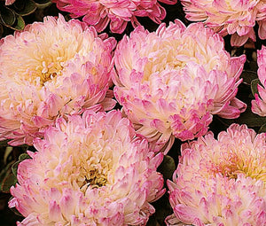 Aster Paeony Duchess Apricot Seeds - Callistephus Chinensis