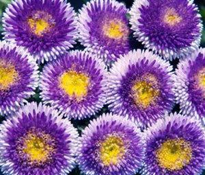 Aster Pompon Blue Moon Seeds - Callistephus Chinensis