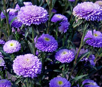 Aster Pompon Blue Seeds - Callistephus Chinensis
