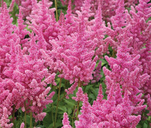 Astilbe Chinese Seeds - Astilbe Chinensis