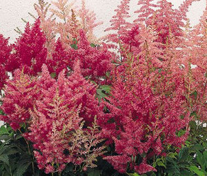 Astilbe Showstar Mix Seeds - Astilbe Arendsii