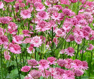 Astrantia Masterwort Purple Seeds - Astrantia Major