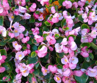 Begonia Wax Rose Seeds - Begonia Semperflorens