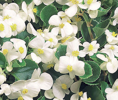 Begonia Wax White Seeds - Begonia Semperflorens