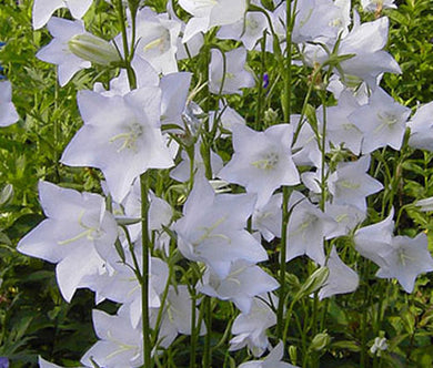 Bellflower Willow Peach-Leaved White Seeds - Campanula Persicifolia Alba