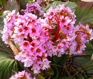 Bergenia Heartleaf Pigsqueak Seeds - Bergenia Cordifolia