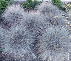 Blue Fescue Seeds - Festuca Glauca