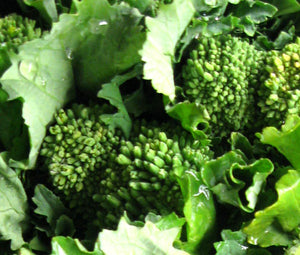 Broccoli Raab Early Fall Non GMO Seeds - Brassica Rapa