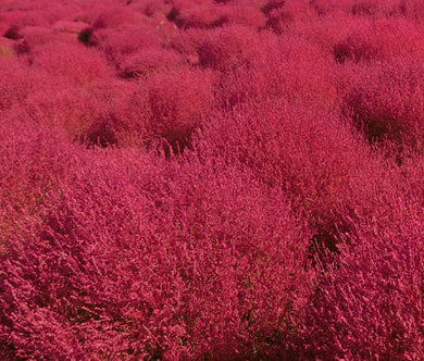 Burning Bush Seeds - Kochia Scoparia