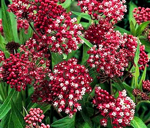 Butterfly Weed Rose Bulk Seeds - Asclepias Incarnata