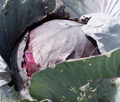 Cabbage Red Acre Non GMO Seeds - Brassica Oleracea