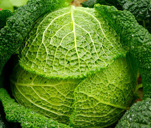 Cabbage Savoy Perfection Non GMO Bulk Seeds - Brassica Oleracea