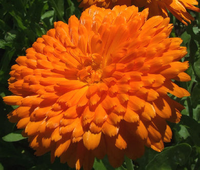 Calendula Orange King Non GMO Seeds - Calendula Officinalis