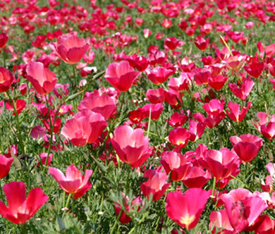 California Poppy Carmine Seeds - Eschscholzia Californica