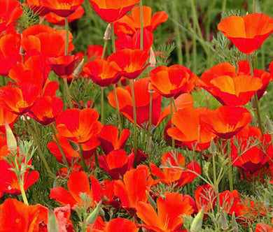 California Poppy Red Chief Bulk Seeds - Eschscholzia Californica