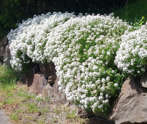 Candytuft Perennial Evergreen White Non GMO Seeds - Iberis Sempervirens