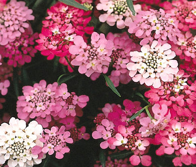 Candytuft Tall Non GMO Seeds - Iberis Umbellata