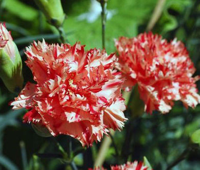 Carnation Chabaud Avranchin Seeds - Dianthus Caryophyllus