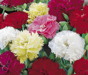 Carnation Chabaud Mix Seeds - Dianthus Caryophyllus