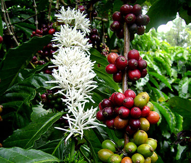 Coffee Arabian Non GMO Seeds - Coffea Arabic Nana