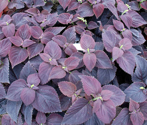 Coleus Dark Chocolate Seeds - Solenostemon Scutellarioides