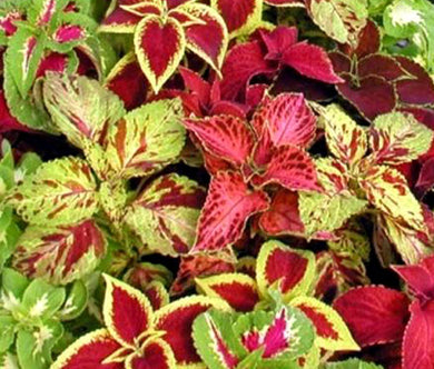 Coleus Rainbow Mix Seeds - Solenostemon Scutellarioides