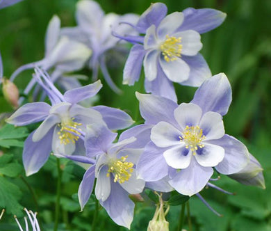 Columbine Blue Dream Seeds - Aquilegia Caerulea