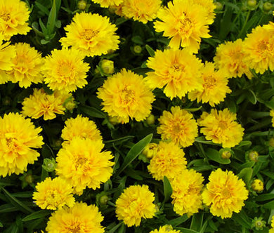 Coreopsis Early Sunrise Bulk Seeds - Coreopsis Grandiflora