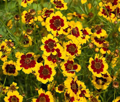 Coreopsis Plains Seeds - Coreopsis Tinctoria