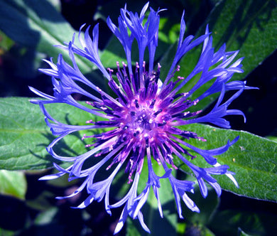 Cornflower Mountain Bluet Seeds - Centaurea Montana