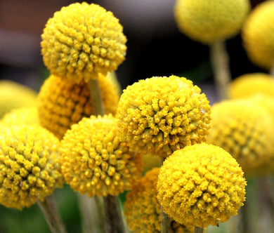 Craspedia Billy Buttons Seeds - Craspedia Globosa