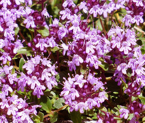 Creeping Thyme Bulk Seeds - Thymus Serpyllum 4