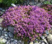 Creeping Thyme Bulk Seeds - Thymus Serpyllum