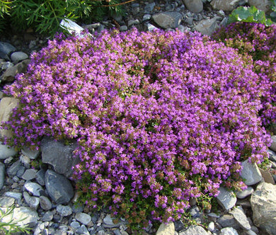 Creeping Thyme Seeds - Thymus Serpyllum