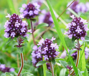 Creeping Thyme Bulk Seeds - Thymus Serpyllum 5