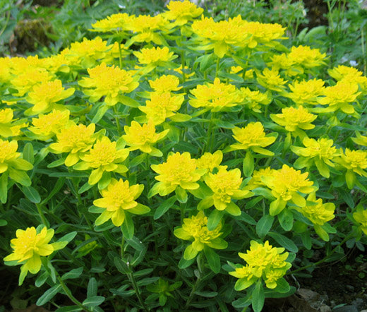 Cushion Spurge Bulk Seeds - Euphorbia Polychroma