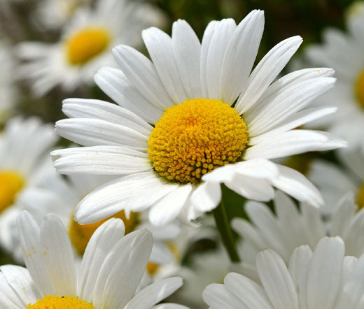 Daisy Shasta Bulk Seeds - Chrysanthemum Maximum