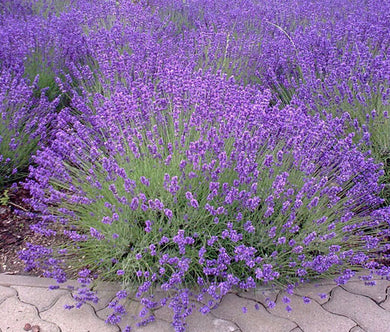 English Lavender Non GMO Bulk Seeds - Lavandula Angustifolia