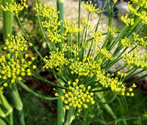 Fennel Florence Organic Seeds - Anise Foeniculum Vulgare