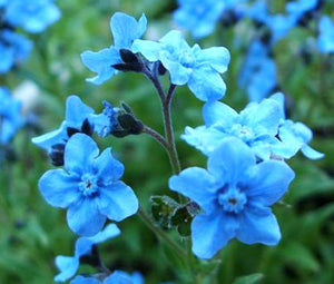 Forget Me Not Chinese Seeds - Cynoglossum Amabile