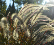 Fountain Grass Black Bulk Seeds - Pennisetum Alopecuroides Viridescens