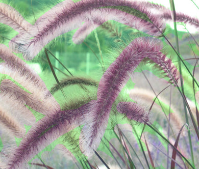 Fountain Grass Rose Pink Bulk Seeds - Pennisetum Ruppelii