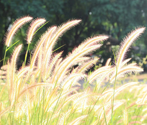 Fountain Grass Bulk Seeds - Pennisetum Alopecuroides