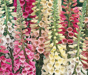 Foxglove Excelsior Mix Bulk Seeds - Digitalis Purpurea