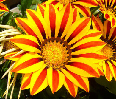 Gazania Garden Leader Red Striped Bulk Seeds - Gazania Rigens
