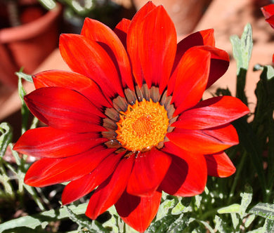 Gazania Kiss Frosty Red Seeds - Gazania Rigens