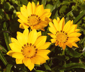 Gazania Kiss Golden Yellow Bulk Seeds - Gazania Rigens