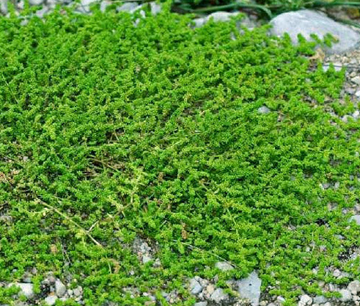 Green Carpet Rupturewort Bulk Seeds - Herniaria Glabra