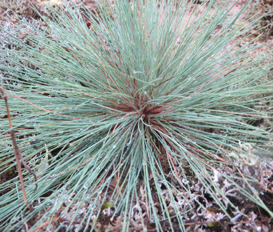 Grey Hair Grass Spiky Blue Bulk Seeds - Corynephorus Canescens