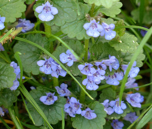 Ground Ivy Non GMO Bulk Seeds - Glechoma Hederacea
